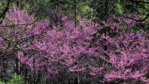 Feral Redbud Trees 2