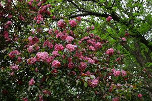 Pink Crabapple Blossoms 6