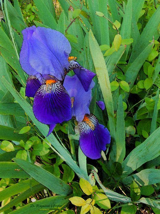 Roadside Iris 3 - D. Raymond-Wryhte