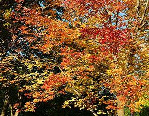Autumn Purple Ash 1