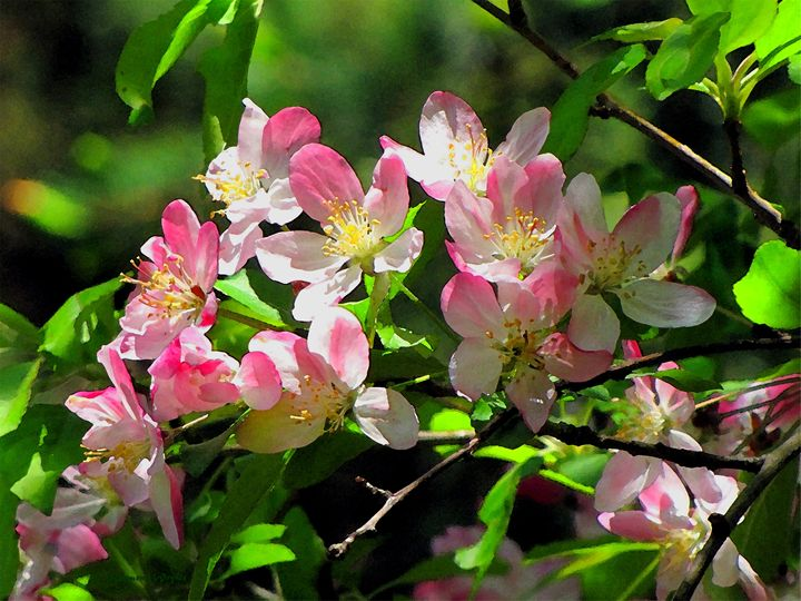 Apple Flowers - D. Raymond-Wryhte