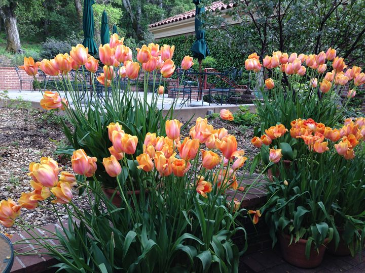 Tulips 2 - Andrea Rt