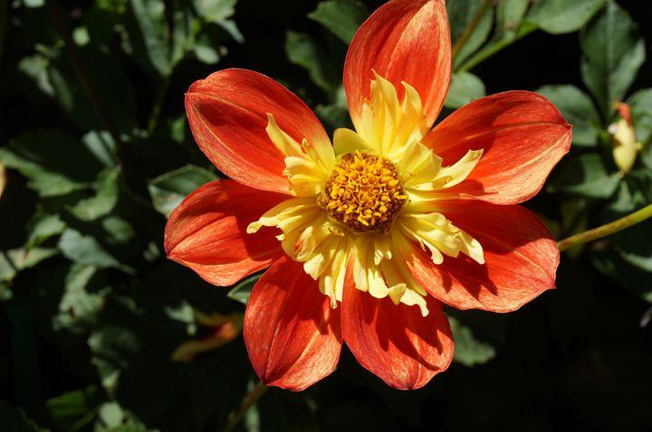 Chrysanthemum 1 - Andrea Rt
