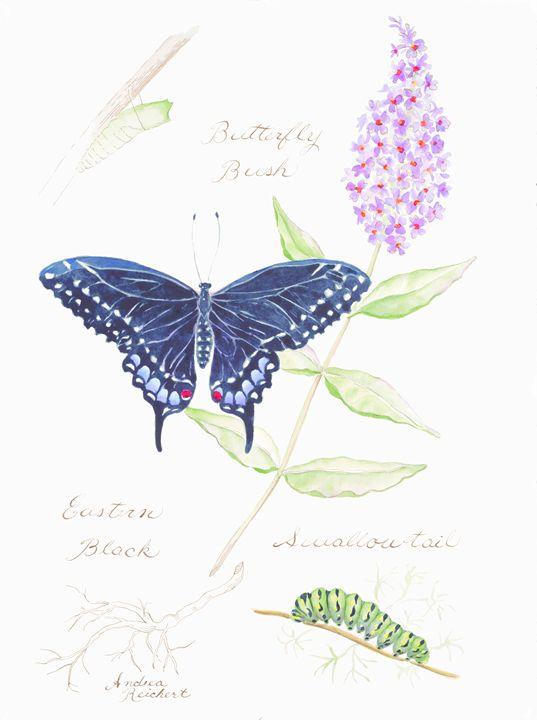 Eastern Black Swallowtail - Andrea Rt