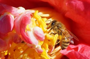 Camellia & Bee