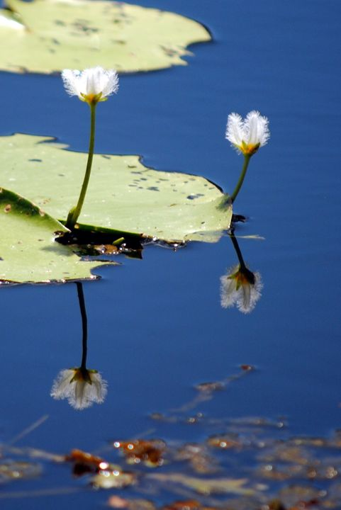 Water Lily Reflection - Eliza Grace