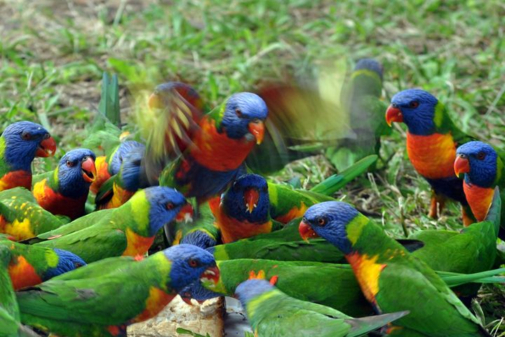 Rainbow Lorikeets - Eliza Grace