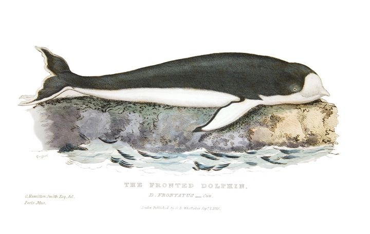 The Fronted Dolphin - Stonebrook Gallery