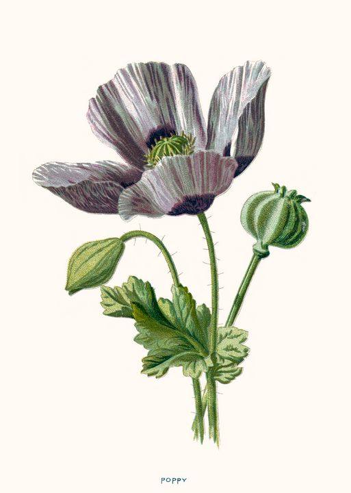 Poppy Beautiful print illustration - Stonebrook Gallery