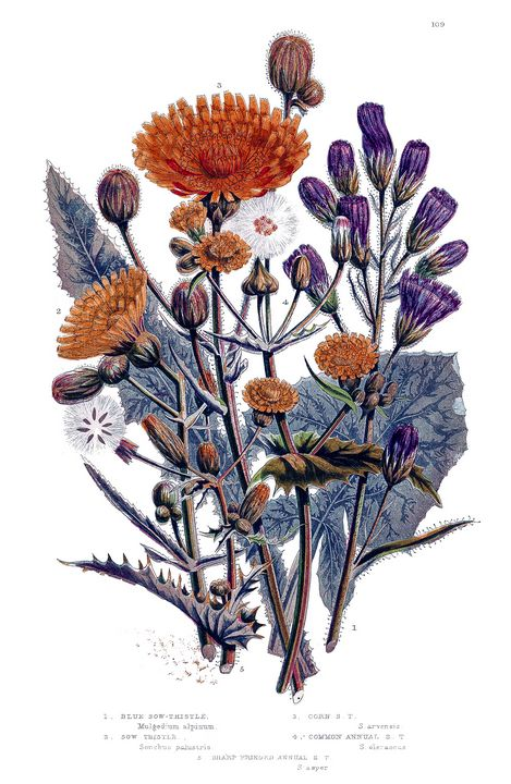 Sow Thistle flowers Old Illustration - Stonebrook Gallery