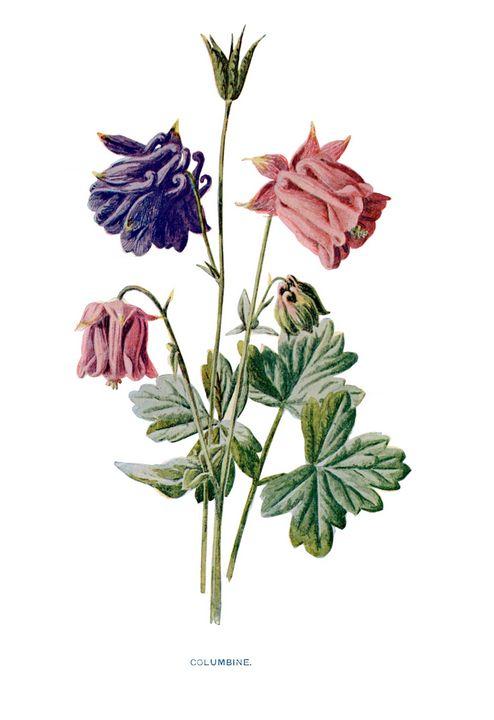 Columbine Vintage Botanical Print - Stonebrook Gallery