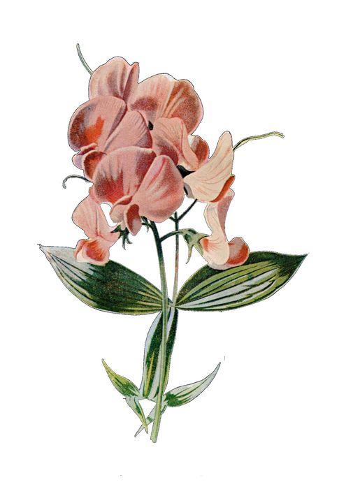 Everlasting Pea Botanical Print - Stonebrook Gallery