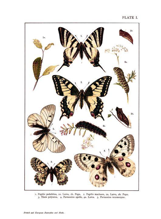 British and European butterflies - Stonebrook Gallery