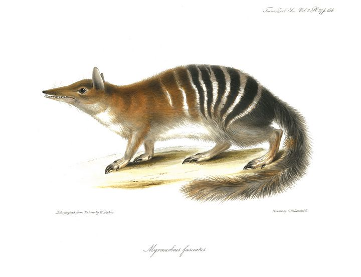 Myrmecobius fasciatus - Stonebrook Gallery