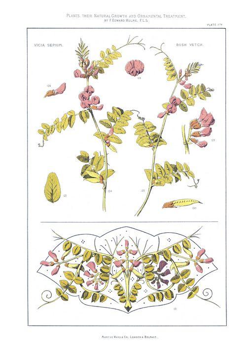 Vica Sepium, Bush Vetch Plate XIV - Stonebrook Gallery