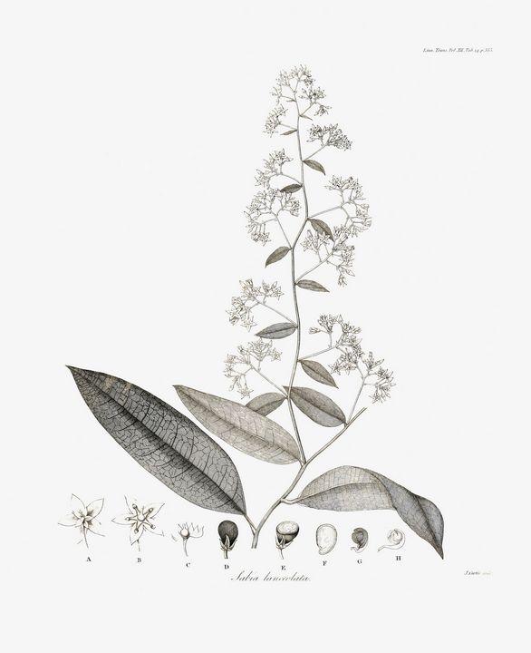 Sabia lanceolata Plant 1819 - Stonebrook Gallery