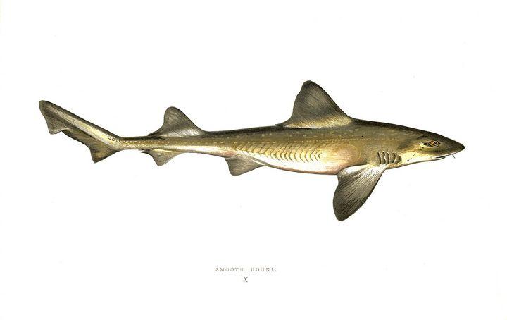 Shark called Smooth Hound X. - Stonebrook Gallery