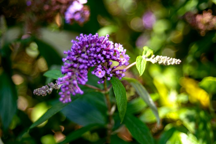 The colourful Lilac - My Pictures