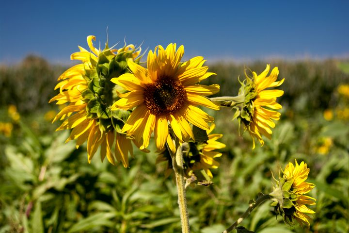 Sunflowers in a field - My Pictures