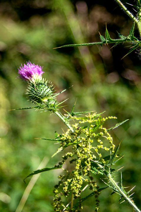 Cirsium vulgare / Spear thistle - My Pictures