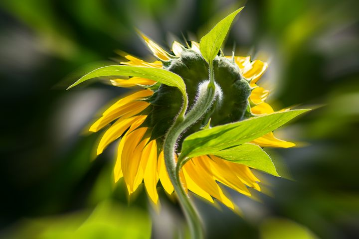 Sunflower from behind - My Pictures
