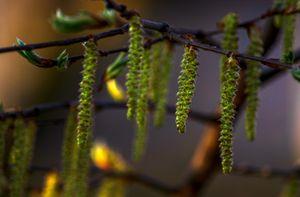 Concept nature : Alder buds