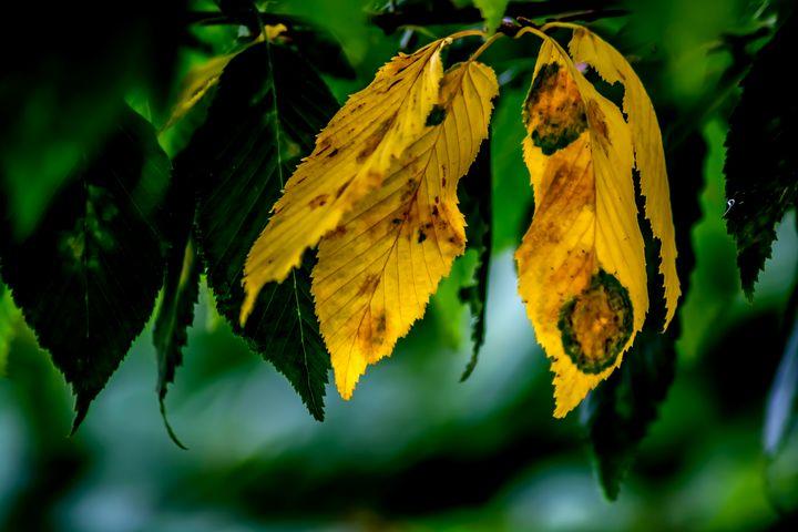 Golden alder - My Pictures
