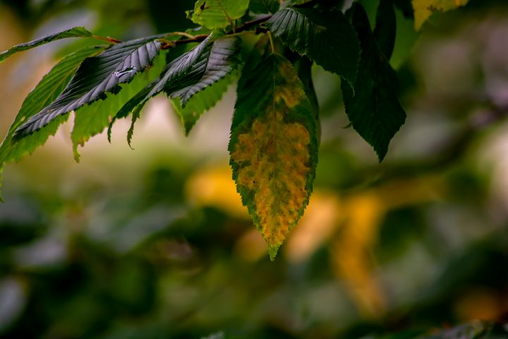 Golden leaf - My Pictures