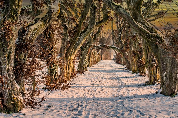 Plane tree`s in Winter - My Pictures