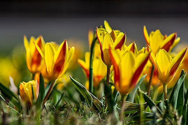 Tulips by the roadside - by Photoart-Naegele