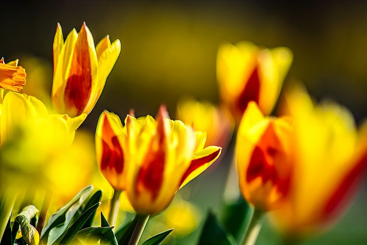 Colored tulips - by Photoart-Naegele