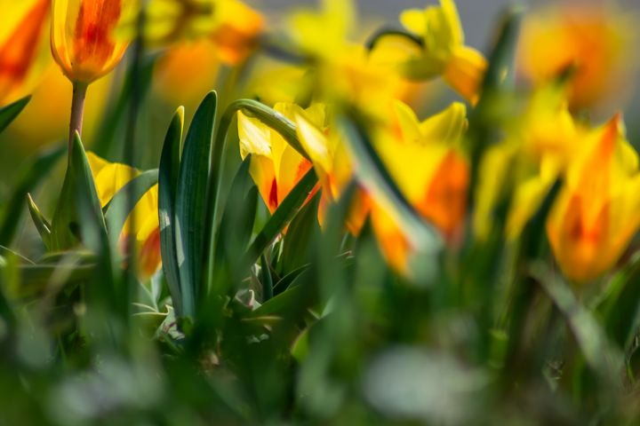 Wild orange Tulips - by Photoart-Naegele