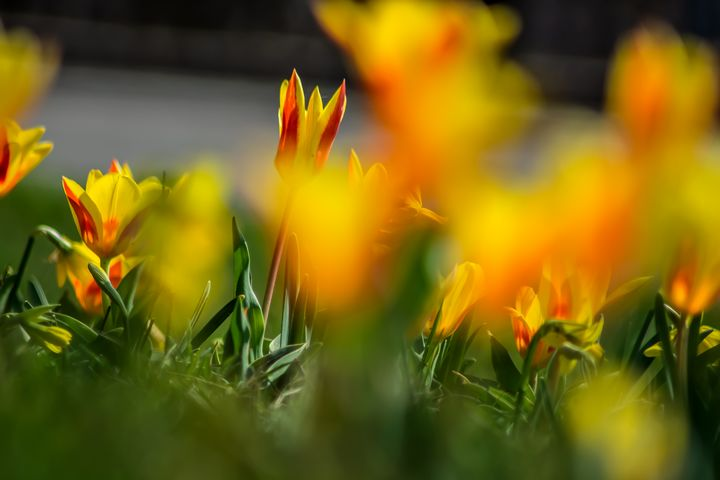 Orange tulip love - by Photoart-Naegele