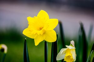 The blooming daffodils