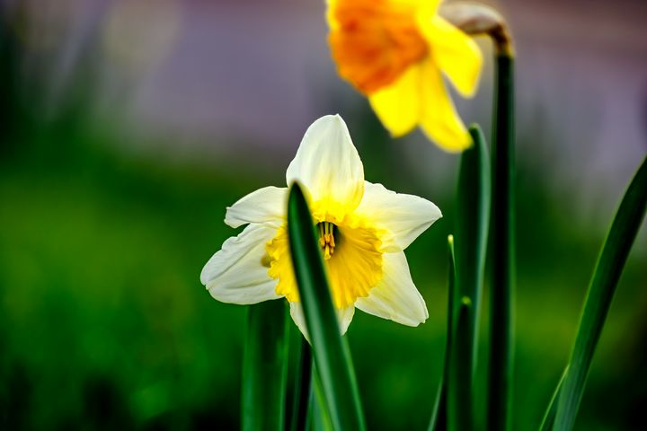 White and yellow doffodils - by Photoart-Naegele
