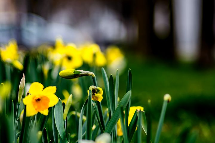 City daffodils - by Photoart-Naegele