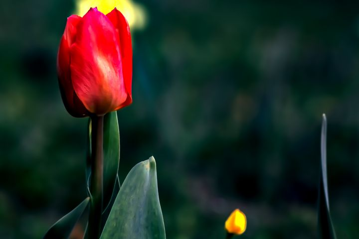 The red tulip - by Photoart-Naegele