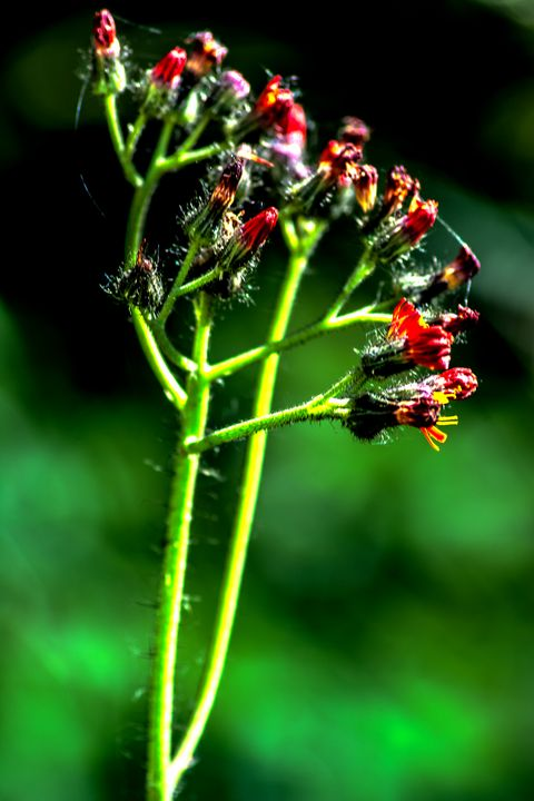 Enjoy nature : Caesalpinien - by Photoart-Naegele