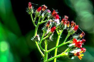 Enjoy nature : Caesalpinien