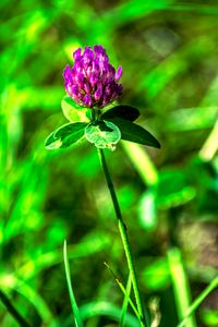 Enjoy nature : Meadow clover