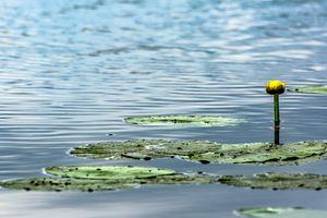 Bad Buchau : The water lily