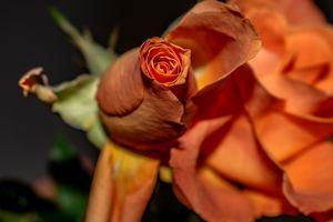 Flora : The orange bud