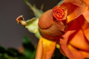 Flora : Rose bud