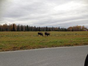 Just Moose N Around