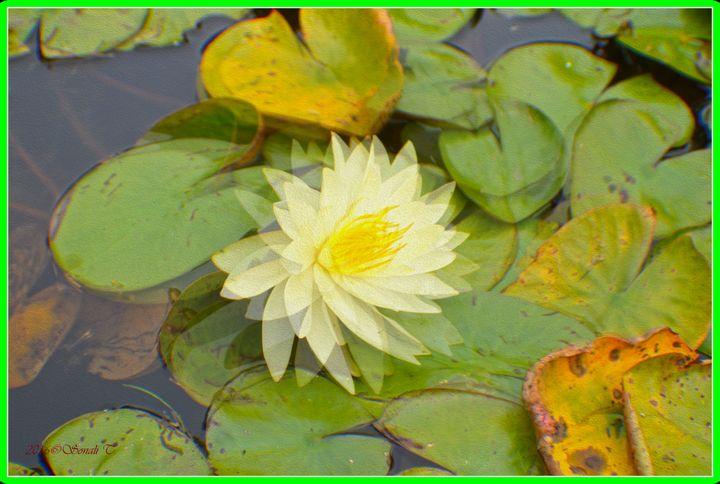 Water Lily - Sonali's Artistic Hues