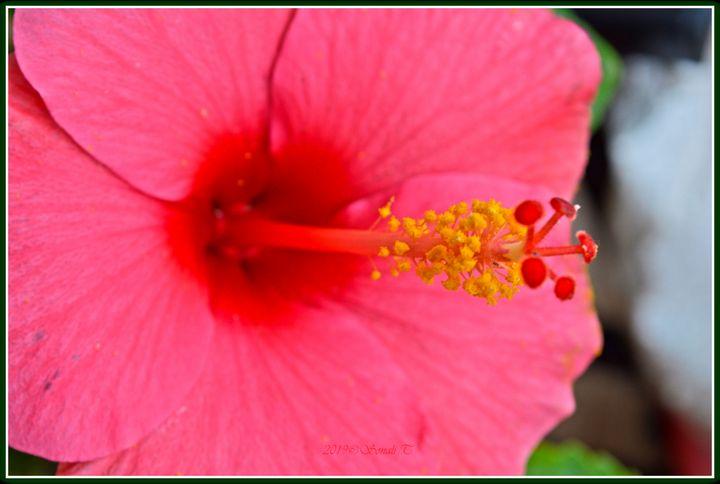 Hibiscus rosa sinensis - Sonali's Artistic Hues
