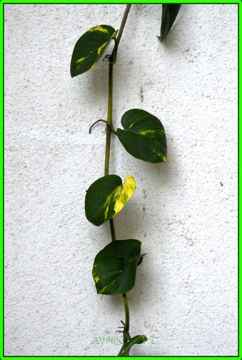 Divine money plant - Sonali's Artistic Hues