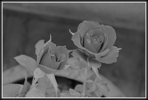 Monochrome Roses