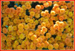 Peach YellowChrysanthemums