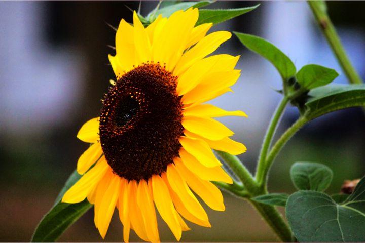Sunflower - Rikki Lea's Photography